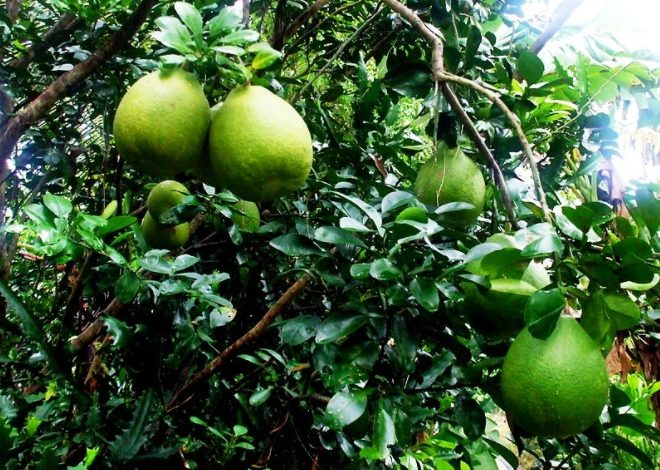 Photo of Everything about Pomelo